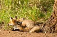 Our trip to Yellowstone this year has been blessed with a fox den with two pups or kits, as they are called.  These have been the most photographed foxes in the world