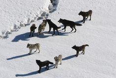 meute de loups, neige