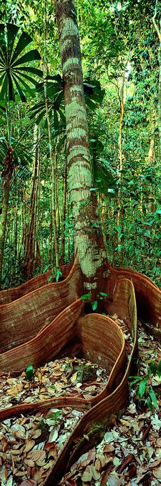 interesting roots Rainforest tree, Daintree, QLD Breathtakingly beautiful!