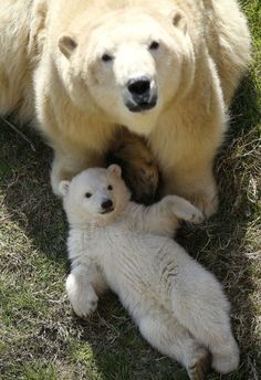 A polar bear cub, born on November and its mother Flocke spend time outdoors on March Cute Baby Animals, Animals And Pets, Funny Animals, Wild Animals, Baby Polar Bears, Photo Animaliere, Bear Photos, Love Bear, Tier Fotos