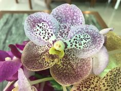 White , light purple, and purple dot orchid