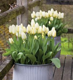 Tulip 'Purissima' is a fantastic, large creamy tulip, like an early Tulip 'Spring Green'. This is perfect for early spring picking and also brilliant for pots.