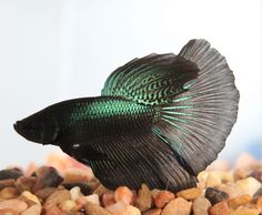 Import Betta. This amazing little male Betta was imported from overseas, he is currently residing in Texas waiting for his new home. Betta Facts Betta fish are an amazingly beautiful easy to care for beginner fish. | eBay!