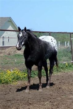 Lovely black appaloosa.. Love the white on the face
