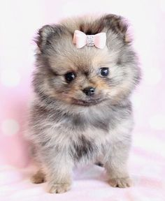 Pomeranian Puppy...if i could ever get Brett to go for it...i'll definately get one