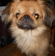 1/18/17 Livonia, MI Check out Blake's profile on AllPaws.com and help him get adopted! Blake is an adorable Dog that needs a new home. https://www.allpaws.com/adopt-a-dog/pekingese/5768829?social_ref=pinterest