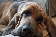 Bloodhounds, the old souls of the dog world.