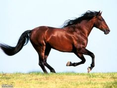 Not only Omani's, but all the Arabs of the Gulf countries value the Arabian horse, as they were used in wars long time ago.