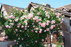 Roses in Gardens: Eden Rose - Pierre De Ronsard