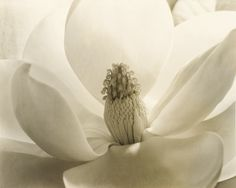 Imogen Cunningham (United States, 1883-1976) 'Magnolia Blossom' 1925