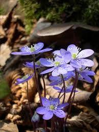 Hepatica nobilis flowers (blue anemone) - Spring in Norway Purple Flowers, Spring Flowers, Wild Flowers, Beautiful Flowers, Herbaceous Perennials, Hardy Perennials, Perennial Plant, Small Plants, Types Of Plants