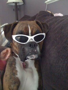 my boxer in sunglasses
