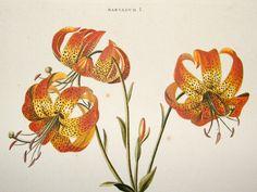 George Ehret Botanical Prints | Trew & Ehret C1765 LG Folio Hand Col Botanical Print. Canada Tiger ...
