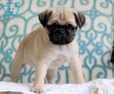 Linus | Pug Puppy For Sale | Keystone Puppies