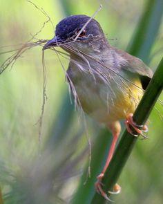 female Yellow-bellied Prinia, Nakhon swamp, Thailand