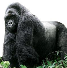 How to Plan a Mountain Gorilla–Spotting Safari Travel + Leisure Silverback Gorilla, Chimpanzee, Orangutans, Primates, Congo, Gorillas In The Mist, Mountain Gorilla, Baboon, Ocean Creatures