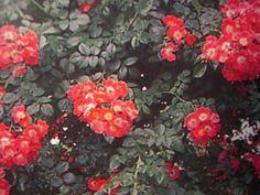 Rosiers lianes