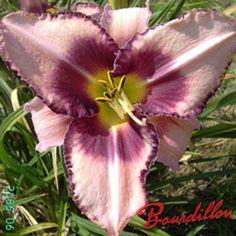 http://bourdillon-iris.com/fr/hemerocalles/256-hemerocalles-abstract-art-.html