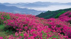 nature mountains pink flowers wallpaper