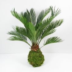 Kokedama | Kokedama Cycas (Palmier) XL - Aquaplante