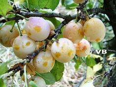 Mirabelka - 'Nancyská' - Ovocná škôlka - STAPE VAJDA s.r.o. Plum, Fruit, Food, Essen, Meals, Yemek, Eten