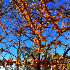 Sea Buckthorn berries. Great fall and winter interest. Just don't plant where you will be walking....it's very thorny!