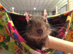 Joy's Degu in a Stack-a-Fuzz hammock