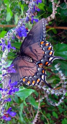 Dimorphic (dark) form of female Tiger swallowtail (Papilio glaucus)