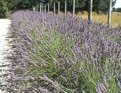 Lavender & Gravel Driveway