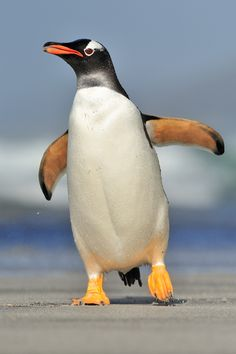 A Gentoo penguin on the Falkland Islands. Picture by Martin van Lokven.
