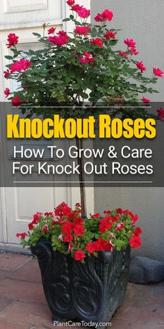 Roses Care - Grow Beautiful Knock Out Roses SMART TIPS] Knockout Roses Care: How To Care For Knock Out Roses. Did you know that Knockout Rose care is so easy, many believe the Knock Out helped save the popularity of roses?Knockout Roses Care: How To Ca Knockout Roses Care, Knockout Rose Tree, Double Knockout Roses, Gardening For Beginners, Gardening Tips, Gardening Services, Balcony Gardening, Gardening Magazines, Gardens