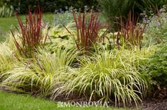 Monrovia's Golden Variegated Sweet Flag details and information. Learn more about Monrovia plants and best practices for best possible plant performance. Bog Plants, Plants, Ornamental Grasses, Pond Plants, Japanese Garden, Perennials, Monrovia Plants, Trees To Plant, Outdoor Plants