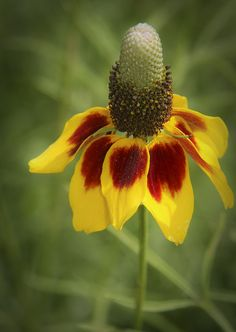 Mexican Hat - Ratibida, is the name of this Texas wildflower All Flowers, Amazing Flowers, Beautiful Flowers, Trees And Shrubs, Trees To Plant, Claude Monet, Texas Plants, Mexican Hat, Le Far West