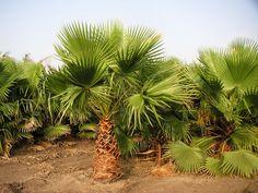 Вашингтония могучая - Washingtonia robusta, вашингтония фото