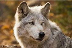 """Résultat de recherche d'images pour """"wolf image"""""""