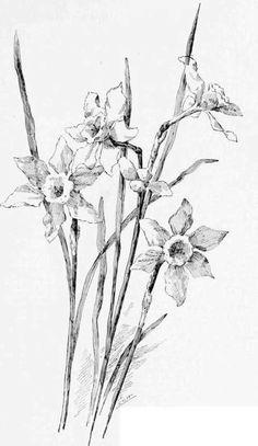 Image from http://wachusettbrew.com/20/daffodil-drawing-tutorials-16.jpg.