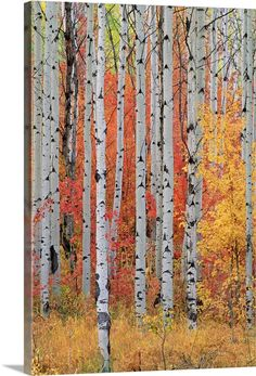 Large Solid-Faced Canvas Print Wall Art Print entitled A forest of aspen and maple trees in the Wasatch mountains, Utah