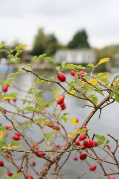 fall, autumn, rosehips, nature, beautiful, blog, trip, weekend,