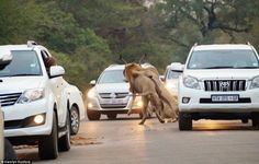 These Tourists Were Driving Through A Game Reserve When Something Breathtaking Happened - Page 4 of 10 - flipopular