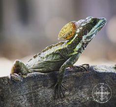 Central America — Basilisk/Jesus Christ Lizard