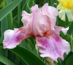 TB Iris germanica 'Oasis Candy Stripe' (Chadwick & White, 2000)