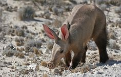 THE AARDVARK - The aardvark is nocturnal and is a solitary creature that feeds almost exclusively on ants and termites. An aardvark emerges from its burrow in the late afternoon or shortly after sunset, and forages over a large home range. One late afternoon in the Kalahari I found this aardvark foraging along one of the kalaharis dry riverbeds.