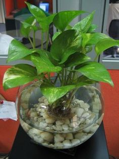 Devil's Ivy in fish bowl. Maybe not in a fishbowl, but I like the idea of a condensed plant. Devil's Ivy in fish bowl. Maybe not in a fishbowl, but I like the idea of a condensed plant. Plants Grown In Water, Water Plants Indoor, Aquatic Plants, Indoor Garden, Outdoor Gardens, Ivy Plant Indoor, Ivy Plants, Inside Plants, Succulents Garden