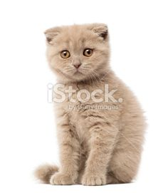 Portrait of Scottish Fold Kitten sitting, 9 weeks old Royalty Free Stock Photo