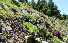 Rock garden. Ogród skalny