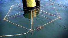 Stichting Noordzeeboerderij begon vorig jaar een kleinschalige test met het telen van zeewier voor de kust bij Texel. Vandaag werd de eerste oogst binnengehaald.