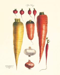 """""""Vegetable art print Antique botanical print vegetable print kitchen art print antique wall art kitchen poster kitchen prints vegetable decor This gorgeous illustration is from a series of hand colored lithographs. It comes from the Belgium book published in the 1800's. This print is digitally enhanced with some odd blemishes left to enhance it's antique look. ------------------------------------------------------------------------------------------ Set of 12 Art Prints. SIZING OPTIONS Available Kitchen Posters, Kitchen Prints, Kitchen Wall Art, Vintage Botanical Prints, Botanical Drawings, Botanical Art, Antique Illustration, Botanical Illustration, Coral Art"""