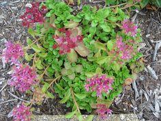 Groundcover Sedum in bloom.