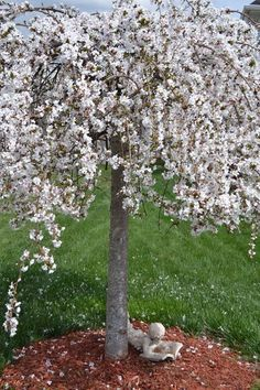 2015 Snow Fountain Weeping Cherry Tree