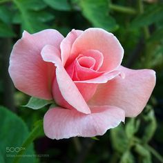 pink rose by Beautiful Flowers Wallpapers, Beautiful Rose Flowers, Wonderful Flowers, Pretty Roses, Exotic Flowers, Pretty Flowers, Yellow Roses, Pink Roses, Rose Reference